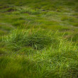 Wild grass growing in natural grassland in Iceland — Stock Photo #39206399