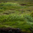 Wild grass growing in natural grassland in Iceland — Stock Photo #39206405