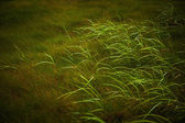 Wild grass growing in natural grassland in Iceland — Stock Photo