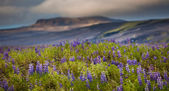 Mountains and wildflowers of Iceland — Stock Photo