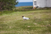 Black-Headed Gull — Stock Photo