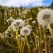 Fragile dainty dandelion clocks — Stock Photo #39272073