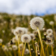 Fragile dainty dandelion clocks — Stock Photo #39272083