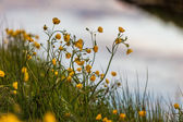 Pretty yellow wildflowers in Iceland — Stock Photo