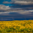 Foto de Stock  : Yellow wildflowers in Icelandic meadow