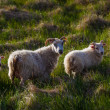 Sheep on Iceland — Stock Photo