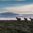 Sheep on Iceland — Stock Photo