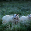 Two sheep on Iceland — Stock Photo