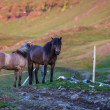 Stock Photo: Two Icelandic horses