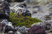 Basaltic rocks in an old lava field in Iceland — Stock Photo