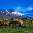Foto Stock: Icelandic horses on summer day