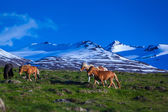 Icelandic horses on a summer day — Stock Photo