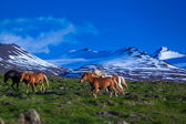Icelandic horses graze on a meadow — Stock Photo