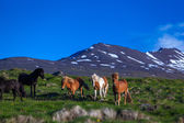Icelandic horses graze on a meadow — Stock Photo