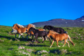 Running icelandic horses on a summer day — Stock Photo