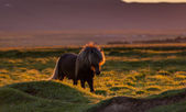 Brown icelandic horse — Stock Photo