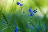 Blue wild flowers — Stock Photo