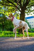 Dog an a walk — Foto de Stock