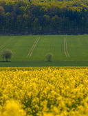 Fields of colorful yellow canola — Stock Photo