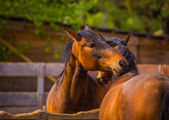 Horses nuzzling each other — Stock Photo