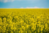 Field of flowering yellow rapeseed — Stock Photo