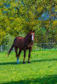 Horse in grassy paddock — Stock Photo