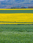 Field of flowering rapeseed — ストック写真