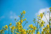 Field of flowering rapeseed — Stock Photo