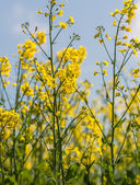 Field of flowering rapeseed — Stockfoto