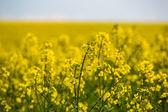 поле цветения рапса — Стоковое фото