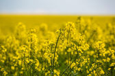 Field of flowering rapeseed — Photo