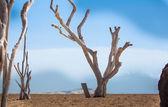 Dead trees on Cape Verde — Foto Stock