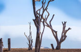 Dead trees on Cape Verde — Stock Photo