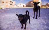 Two black dogs — Stock Photo