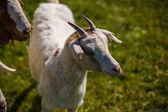 Inquisitive goat — Stock Photo