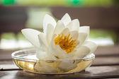 White lutus blossoms — Stock Photo