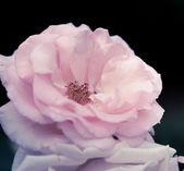 "Bright pink rose ""Glendora"" — Foto Stock"