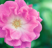 Colorful pink rose — Stock Photo