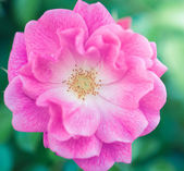 Colorful pink rose — Stockfoto