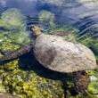 Turtle surfacing for air — Stock Photo