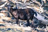 Wild Mountain Goat — Stock Photo