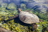 Turtle surfacing for air — Stockfoto