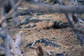 Wild Mongoose Among Rocks — Stock Photo