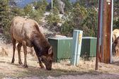 Elk near Utilities — Stock Photo