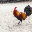 Rooster on Beach — Stock Photo