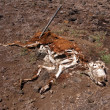 Stock Photo: Decomposing Cow
