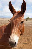 Inquisitive Mule — Stock Photo