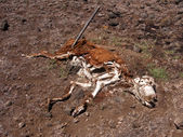 Decomposing Cow — Stock Photo