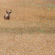 Alert Deer in Field — Stock Photo
