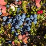 Tundra Blueberries — Stock Photo